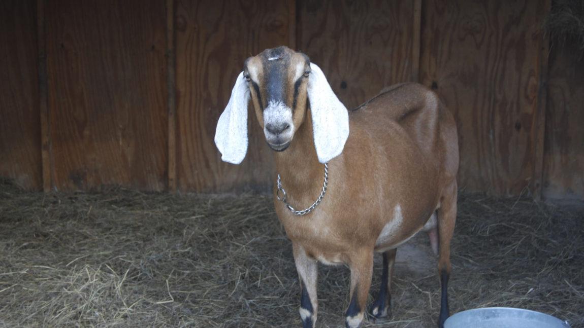 Sad news about a goat
